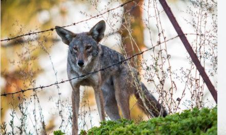 Urban Coyotes: Vital Scavengers